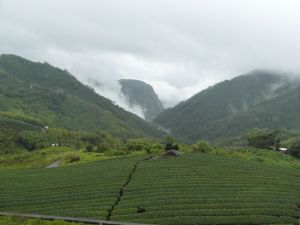 Tea Plantation in Ali Mountains